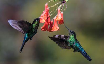 Hummingbirds, flowers, flying, wings