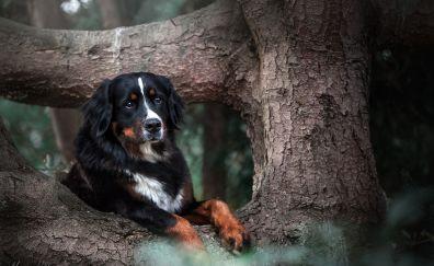 Bernese mountain dog, tree trunk, animal