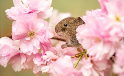 Pink flowers, mouse, rodent, muzzle