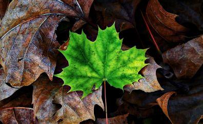 Leaf, maple, autumn