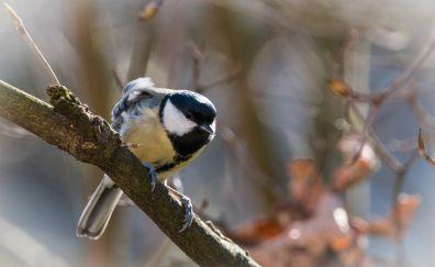 Tit bird, tree branch, blur