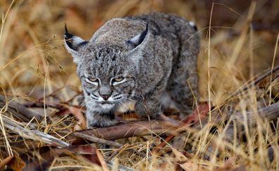 Baby lynx, wild cat, animal