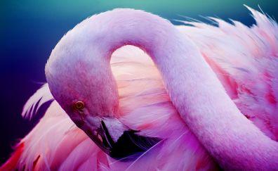 Pink bird, Flamingo, water bird, feathers