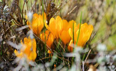 Crocus, yellow flowers, blur