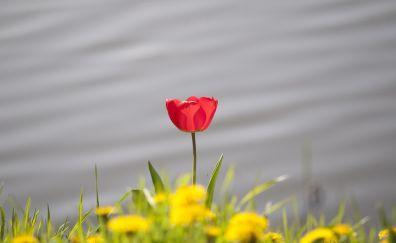Single lone red tulip flower, grass