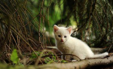 Kitten, cat, animal, white baby cat