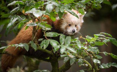 Cute Red Panda, sitting, tree branch