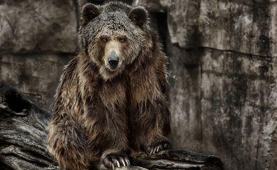 Bear, predator, wild animal, furry animals