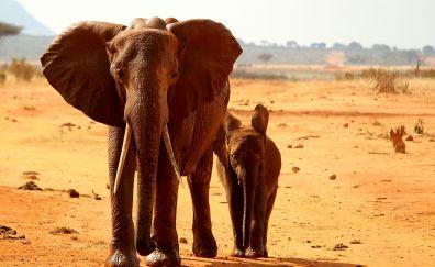 Elephant, African elephant, wild animals, baby elephant