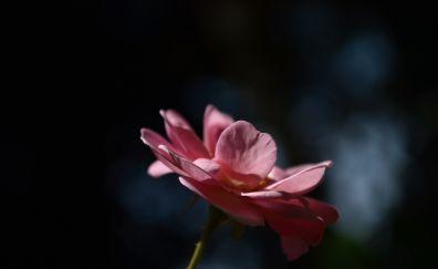 Rose flower, petals, blur