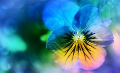 Pansy blue flower, close up