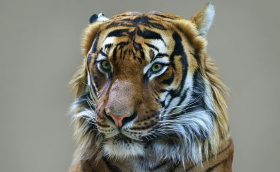 Tiger, predator, muzzle, wild cat