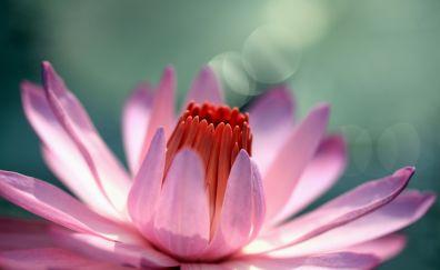 Louts flower, pollen, petals, close up