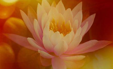 Lily flower, blur, close up