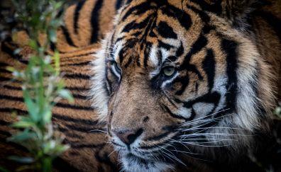Tiger, predator, muzzle, animal