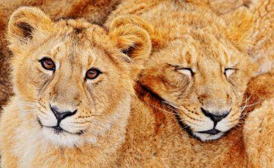 Big Cat Lions