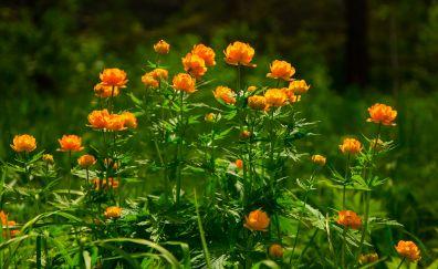 Yellow rose, blossom, flowers, plants