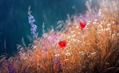 Poppy plants, flower, meadow, grass