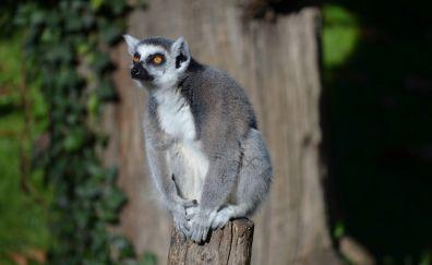 Ring-tailed lemur, animal, wild furry animal, sitting