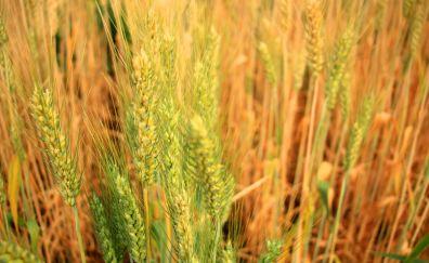 Wheat plants, threads, farm