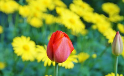 Tulip flower, farm, red & yellow flowers