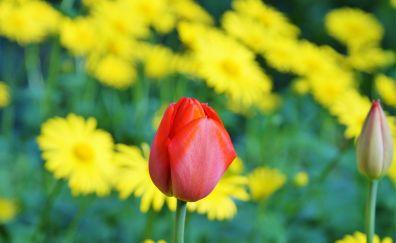 Tulip flower, farm, red & yellow flowers