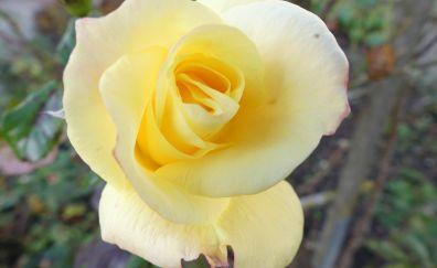Rose flower bud petals close up