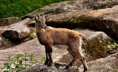 Wild goat, horns, rocks