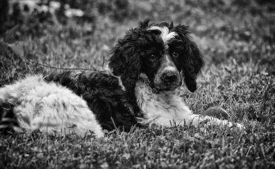 Poodle dog, animal, sitting, monochrome