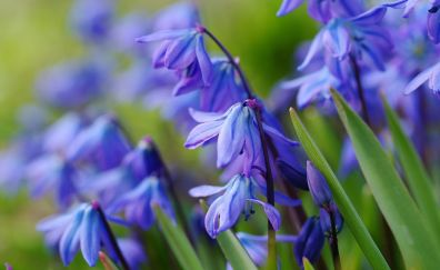 Primrose, blue flowers, close up