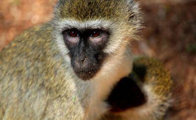 African monkey, wild animal, muzzle