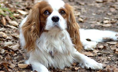 Purebred dog, cute dog, animal, stare