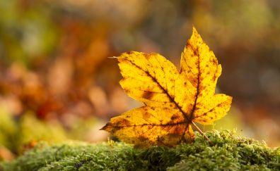 Dry, Maple leaf, fall, autumn