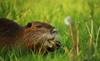 Coypu rodent, rat, animal