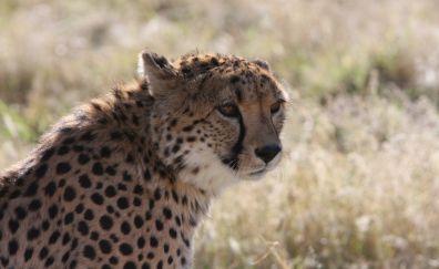 Calm, animal, cheetah, big cat