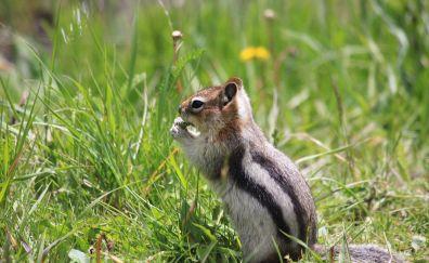 Chipmunk, animal, cute small animal