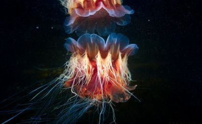 Lion's mane jellyfish, fish, underwater, colorful