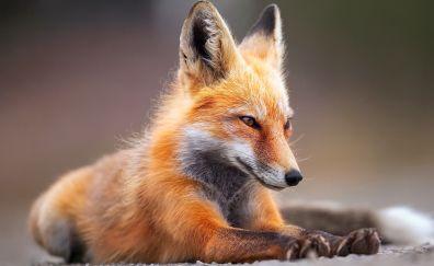 Red fox sitting