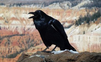 American raven bird, sitting