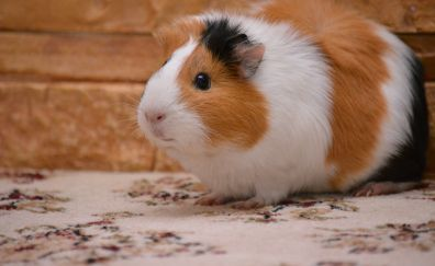 Guinea pig, rodent, furry, animal