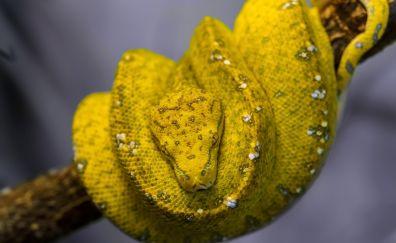 Yellow python, reptile