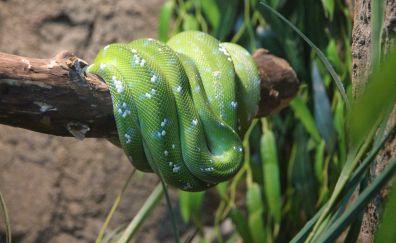 Boa green color snake
