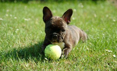 French Bulldog, puppy, ball, play