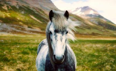 Iceland horse, landscape, animal