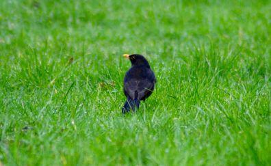 Blackbird, grass land, grass