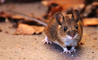 Brown mouse, rodent, animal