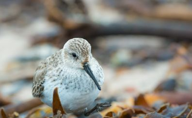 Sanderling, small bird, blur