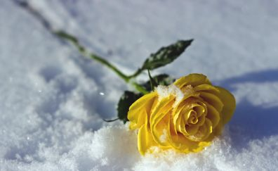 Yellow rose flower, snow, winter