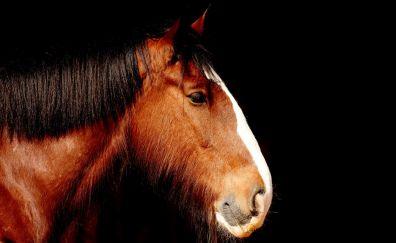 Shire horse, animal, portrait