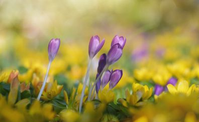 Purple, yellow, crocus flowers, bud